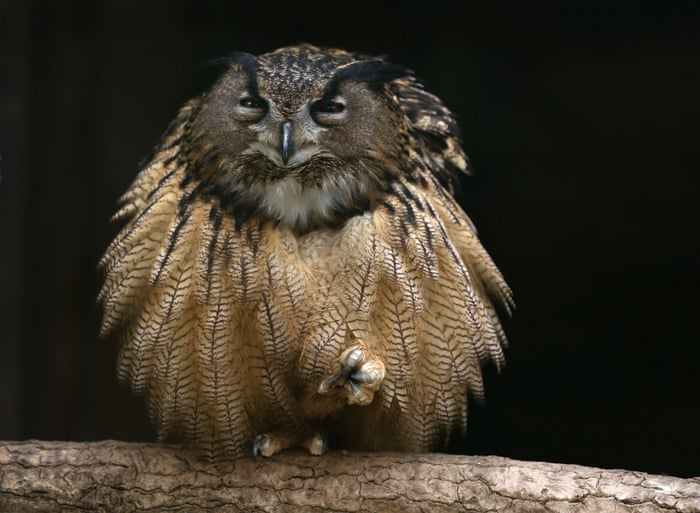 An eagle owl fluffs out its feathers as it sits on one foot on a branch in its enclosure at the Grugapark, Germany