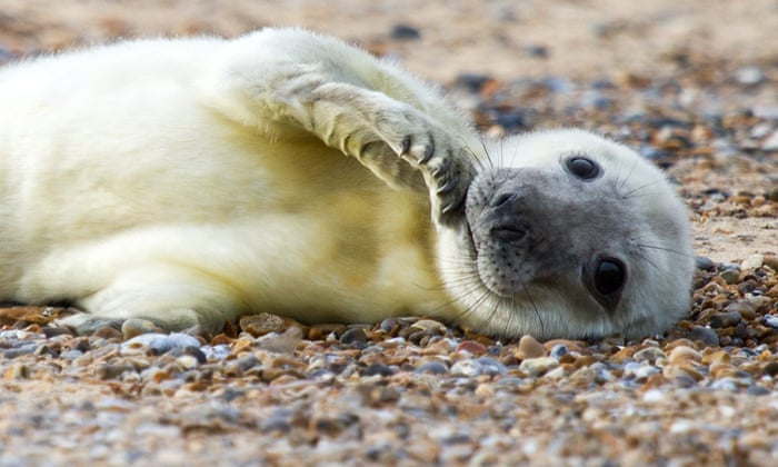 One of the first seal pups of the season to have been born at the site of one of England's biggest colonies, Blakeney Point