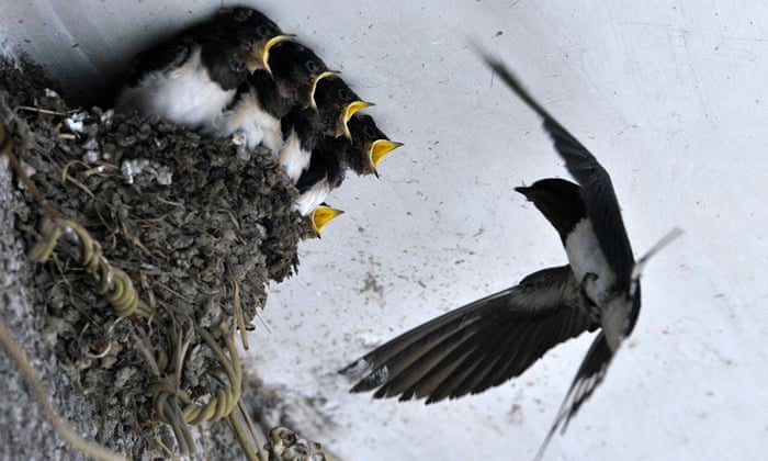 A swallow feeds her babies in their nest under the ceiling of a residential house in Dongfeng township, China