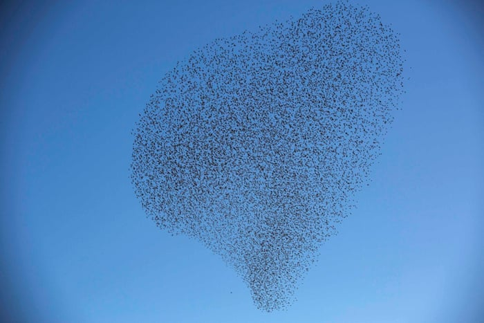 A flock of starlings fly over an agricultural field near the southern Israeli city of Netivot.