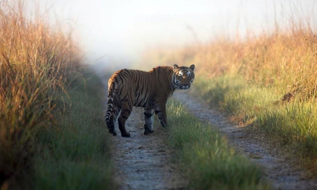 Tigers normally walk away from humans. When they chase humans, trouble follows.