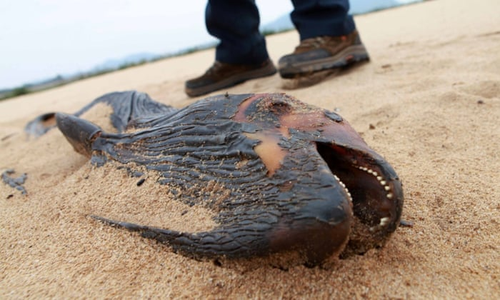 A view of the dried body of a Yangtze finless porpoise on the shore of Poyang Lake on November 26, 2014 in Duchang, China.   There are less than 1,500 Yangtze finless porpoises in the wild, more endangered than pandas, according to Chinese media.