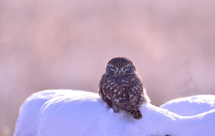 A small owl sits in the snow in Ansung City, Gyeonggi province, South Korea, 04 December 2014. Snow continued to be forecast in the region on 04 December.