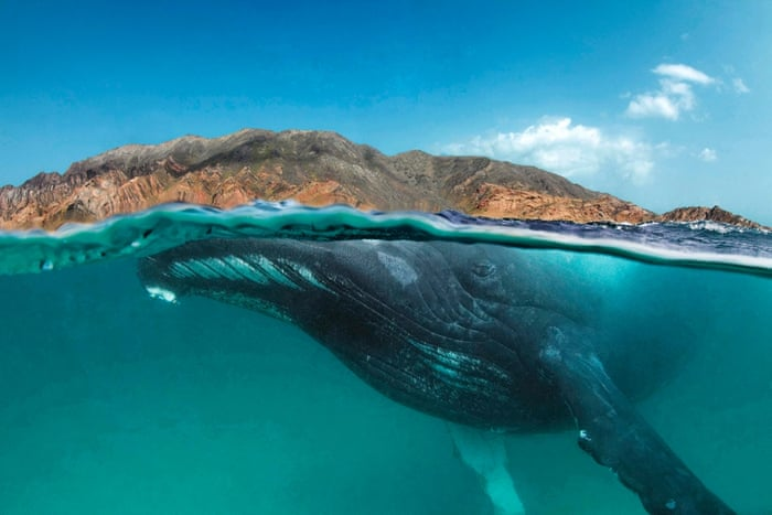 Humpback whale, Megaptera novaeangliae, swimming close to the surface in a split shot half under and half over water with brown desert mountains in the background at Al Sawda, Al-Hallaniyah, Khuriya Muriya Islands, Oman, Indian Ocean. NEW YORK (December 3, 2014)   Scientists from WCS (Wildlife Conservation Society), the American Museum of Natural History (AMNH), the Environment Society of Oman, and other organizations have made a fascinating discovery in the northern Indian Ocean: humpback whales inhabiting the Arabian Sea are the most genetically distinct humpback whales in the world and may be the most isolated whale population on earth. The results suggest they have remained separate from other humpback whale populations for perhaps 70,000 years, extremely unusual in a species famed for long distance migrations.