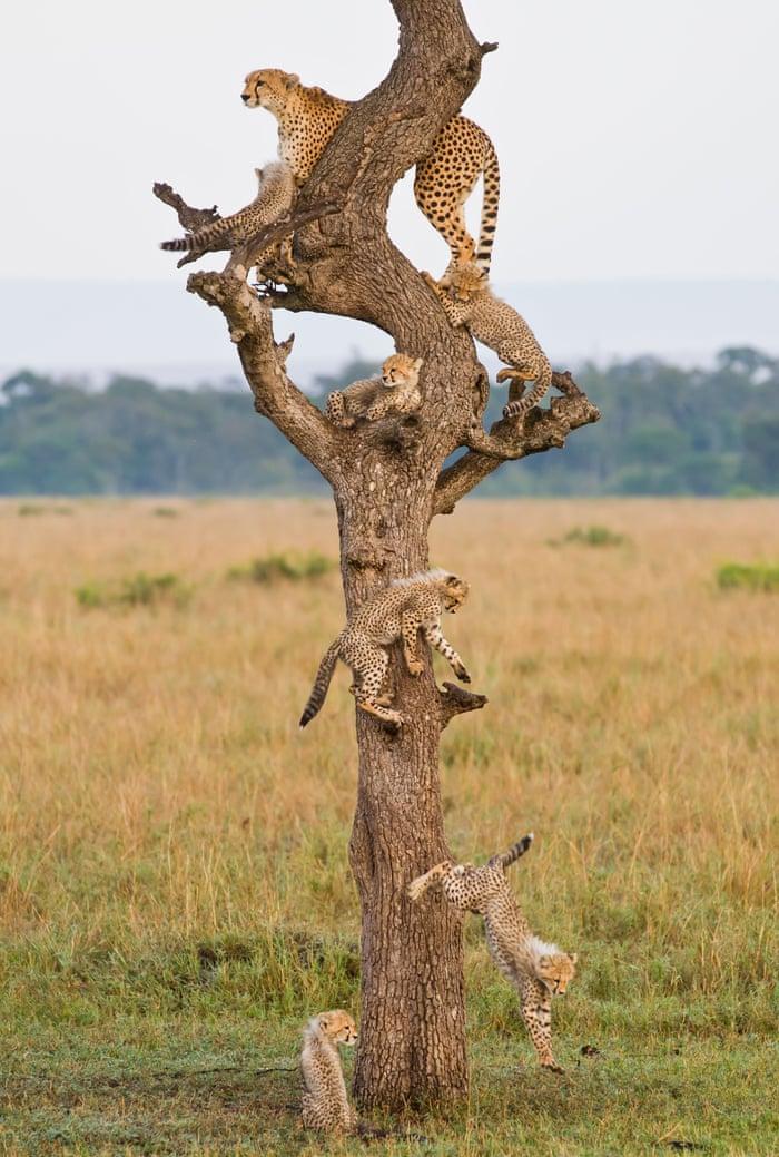 """""""Family Tree"""" cheetah female and her six nine-week-old cubs, Masai Mara, Kenya"""