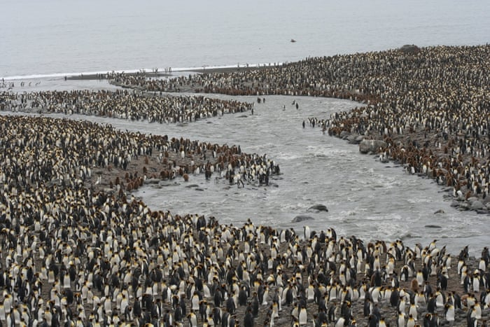 South Georgia King penguin colony on South Georgia. The rats feed on the bird's excrement and young chicks. Photograph: South Georgia Heritage Trust