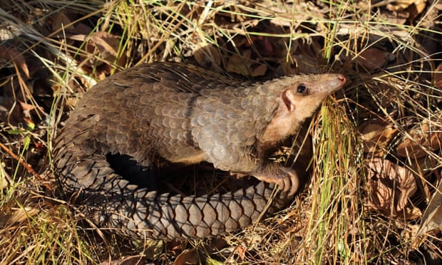African White-bellied/Tree pangolin
