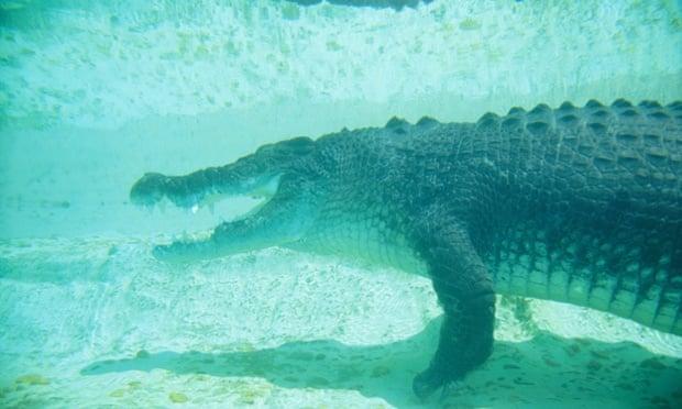 American Alligator Attacks With American Alligators