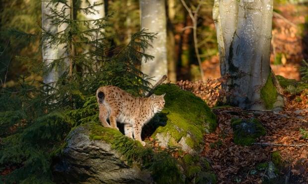 A Eurasian lynx in Bavarian forest, Germany.