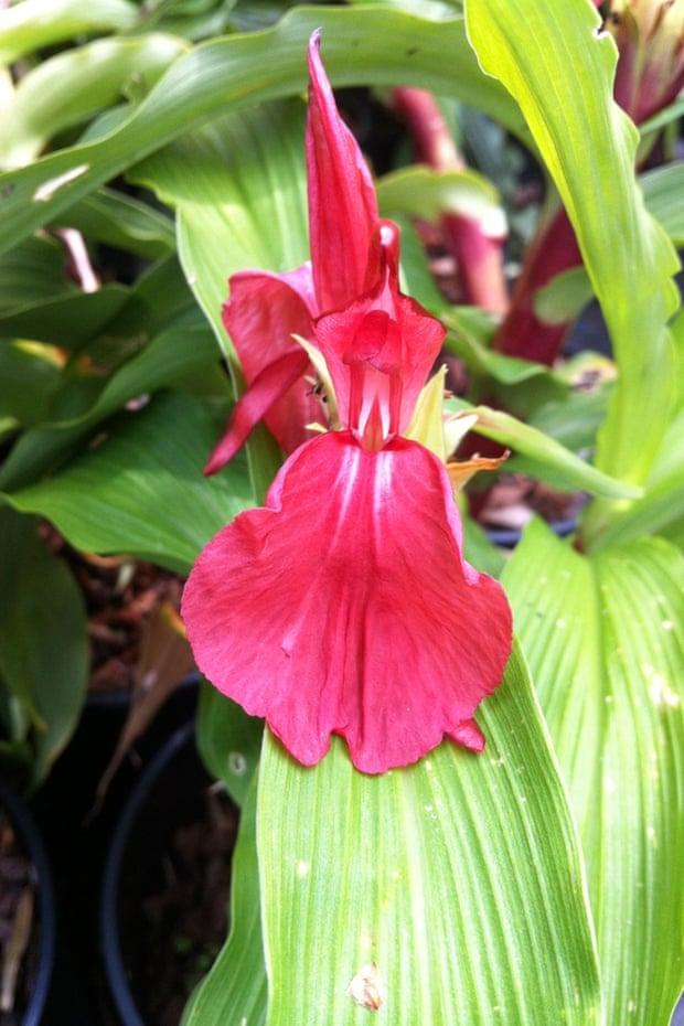 Roscoea purpurea f. rubra