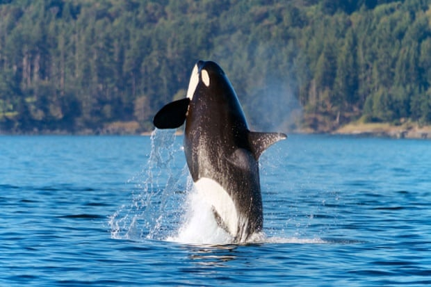 An orca in San Juan Islands.