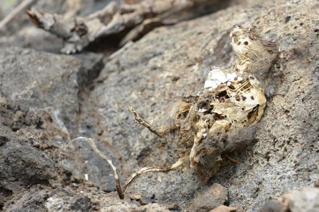 A dead rat on Pinzon in 2012