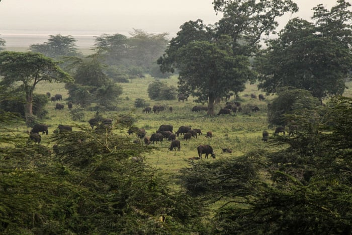 Buffalos graze in the Ngorongoro Crater, west of Arusha, northern Tanzania, Monday, Jan. 19, 2015. According to Tanzanian officials, the crater was formed as a result of a volcanic eruption and collapse three millions years ago and is now one of the most densely crowded African wildlife areas in the world.