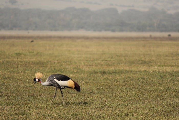A gray crowned crane roams the Ngorongoro Crater in Ngorongoro Conservation Area, west of Arusha, northern Tanzania, Monday, Jan. 19, 2015. According to Tanzanian officials, the crater was formed as a result of a volcanic eruption and collapsed three millions years ago and is now one of the most densely crowded African wildlife areas in the world.