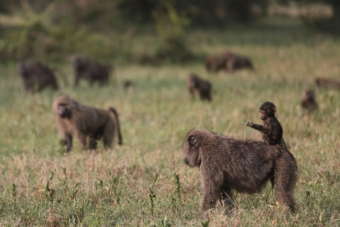 Baboons roam the Ngorongoro Crater, west of Arusha, northern Tanzania, Monday, Jan.19, 2015. According to Tanzanian officials, the crater was formed as a result of a volcanic eruption and collapsed three millions years ago and is now one of the most densely crowded African wildlife areas in the world.