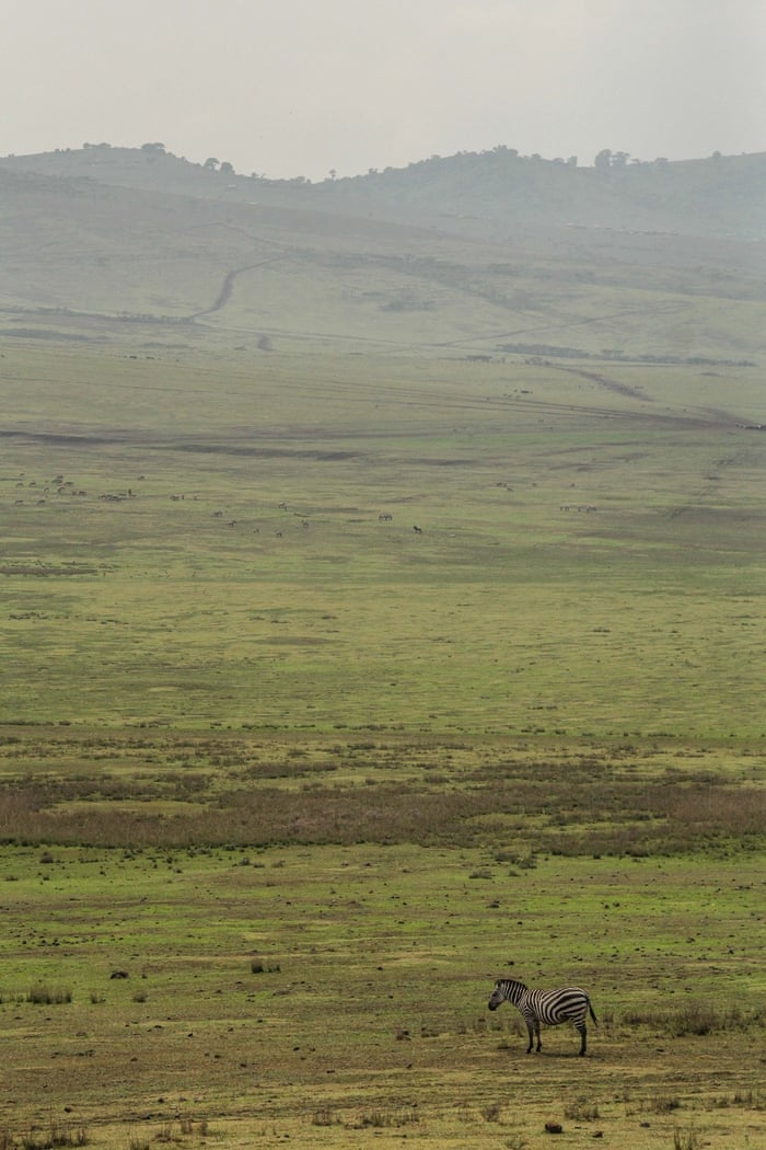 In this photo taken Saturday, Jan. 17, 2015, a zebra grazes the highlands of Ngorongoro Conservation Area, west of Arusha, northern Tanzania