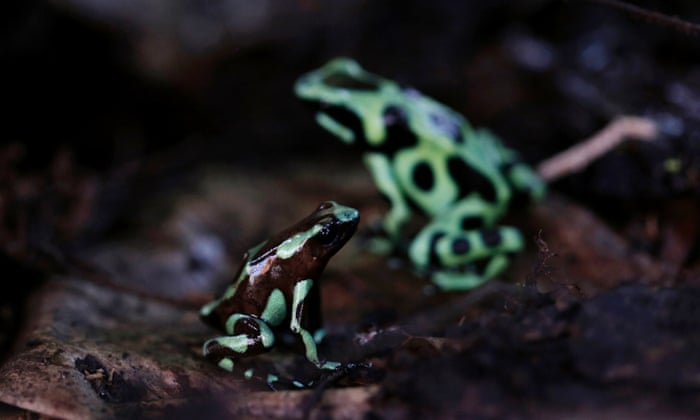 "Green and black poison dart frogs (Dendrobates auratus), which are part of the new ""Land of Frogs"" permanent exhibition at the Gamboa Rainforest Hotel on the outskirts of Panama City, January 7, 2015."