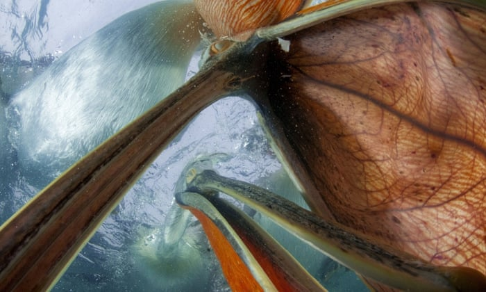 Dalmatian pelicans (Pelecanus crispus) underwater view of group feeding, Lake Kirkini, Greece Photographs of Bence Mate - 2014 *Full story: http://www.rexfeatures.com/nanolink/phmh  Caught in startling close-up detail, these stunning images give an unusual perspective on the animal world. Award winning Hungarian photographer Bence Mate's breathtaking images capture wildlife unbelievably up close and personal. His nickname - 'the invisible wildlife photographer' - offers an explanation to just how he manages to capture such intimate snaps. In one shot Dalmatian pelicans in a feeding frenzy are seen from below the water, while a grey heron snaps up a fish just inches from the camera. To get his amazing shots Bence can spend days, weeks or even months quietly tucked away in a hide that he himself has carefully designed and built. These often utilise one-way glass, which is what enables him to get so close to his oblivious subjects.