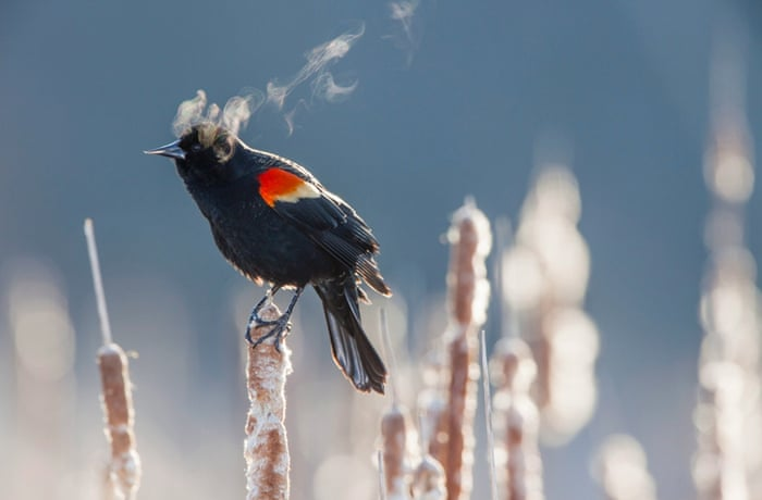As the sun rises to start a new day, this little bird looks like he's having a morning smoke - but the steam is just his breath in the cold air.  Temperatures are below freezing as the stunning red-winged blackbird sits on a plant in a field, taking in his surroundings.  The little bird's warm breath floats out of his beak, only to vanish into thin air moments later.  These spectacular pictures were taken by professional nature photographer, Ian Plant.  Ian, 42, braved the below freezing temperatures at sunrise and visited a freshwater marsh in Virginia, USA, to snap these pictures.