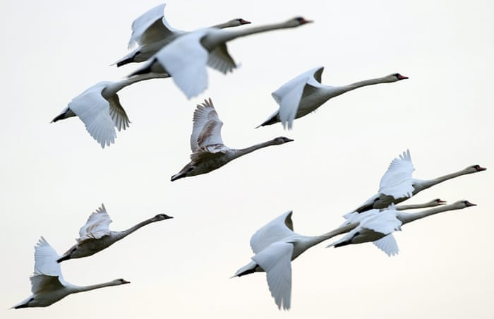 Swans fly in the sky above Lietzen in the district of Maerkisch-Oberland, Germany, 03 January 2015. Currently, migratory birds like geese, swans or cranes can be observed searching for food on fields around eastern Brandenburg.