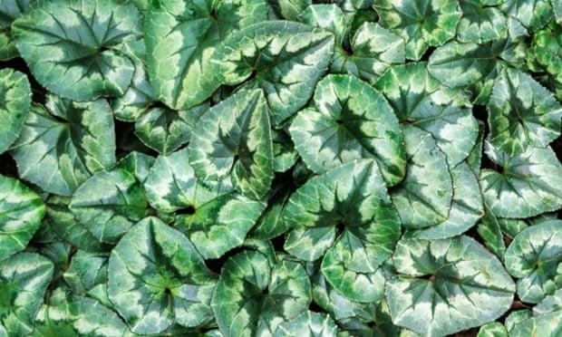 Cyclamen foliage in summer