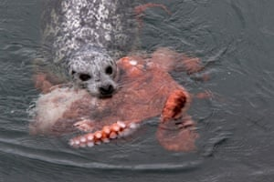 A harbour seal bites into an octopus in Ogden Point, Canada.