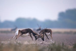 Two Blackbucks engage in a fight at the Tal Chhapar Sanctuary in Churu, India
