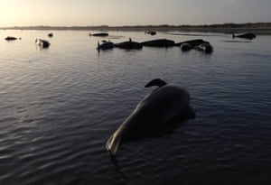 Stranded pilot whales at Farewell Spit, New Zealand
