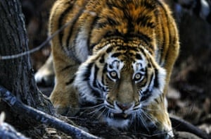 A male Siberian tiger at the Primorye Safari Park in Primorsky Krai, Russia