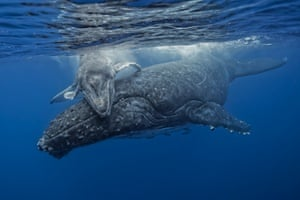 A young whale calf swims over its mother