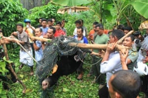 Indonesian conservation officers carry a honey bear