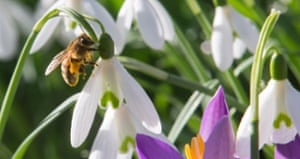 A bee lands on snowdrops