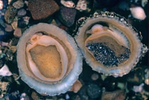 Common Limpets (Patella vulgata)