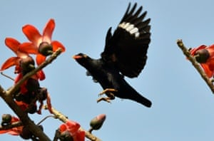 A Hill Myna arrives to feeds on the nectar of a flower in Guwahati, India