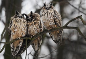 Three owls sit on a tree branch in a park in central St. Petersburg