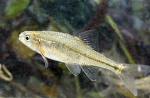 An Oregon chub at the William L. Finley National Wildlife Refuge near Corvallis, Oregon. The tiny fish found only in Oregon has become the first fish in the country removed from Endangered Species Act protection because it no longer faces extinction. It was put on the endangered species list 21 years ago