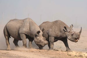 A male black rhinoceros attacks another in Kenya's Laikipia County