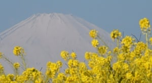 Mount Fuji covered with snow behind rape fields in full bloom at a park in Ninomiya, Kanagawa Prefecture, Japan