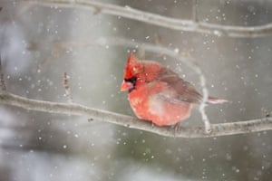 A northern cardinal perches in a tree during a snow storm in Lexington, Kentucky