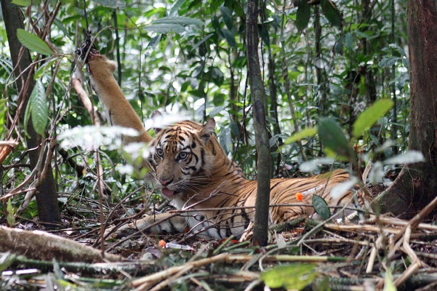 mladá sumaterská tygřice chycená do pasti v národním parku Kerinci Seblat