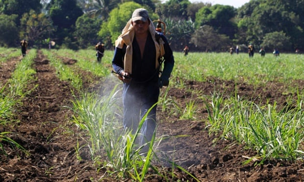 A worker fumigates a sugar cane plantation.