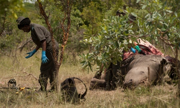In kruger rhinos are gunned down like this almost every day this the
