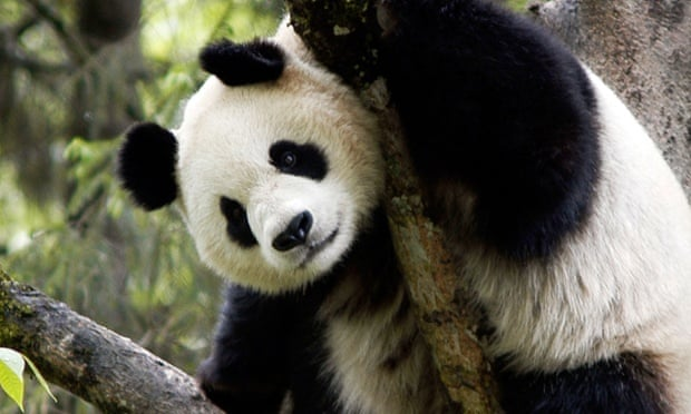 Good news for pandas, apparently