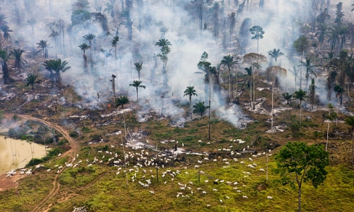 As vacas pastam ao lado de queima Amazon