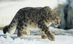 Snow leopard walking on snow. An international forum will coordinate the conservation of the species and its habitat in Bishkek, Kyrgyzstan, on March19-20, 2015.