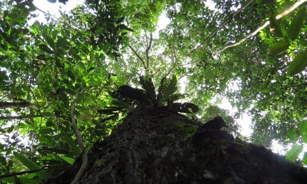 A Brazil nut tree, one of the dominant species in the Amazon, where trees appear to be dying younger.