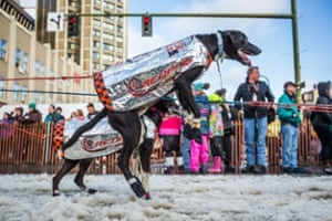 A dog in musher Ken Anderson's team can't watit to get going.
