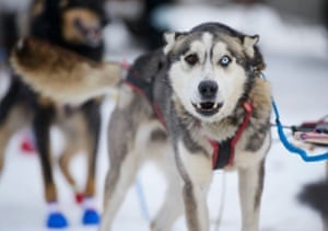 A dog from Mitch Seavey's team gazes through two different coloured eyes