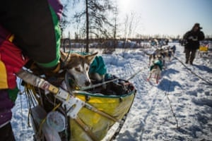 Sushi, a dog in musher Brian Wilmshurst's team, rides in the sled into the Manley Hot Springs checkpoint. Injured dogs are cared for by veterinarians at every checkpoint, and a musher can choose to drop a dog, leaving it with volunteers who will take it back to Anchorage