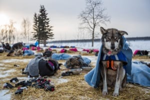 A dog in musher Steve Watkins' team rests sitting up at the Tanana checkpoint